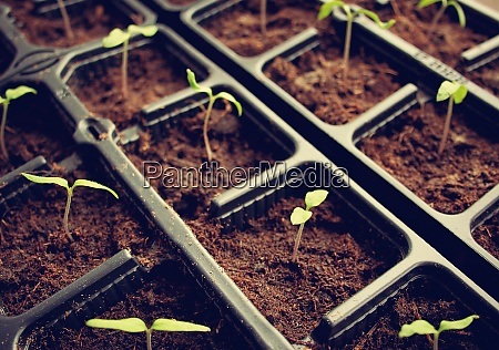 tomatoe seedlings