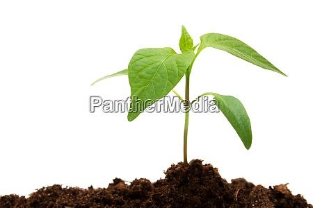 pepper seedling on white background