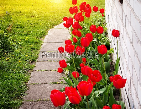 tulips growing near a house