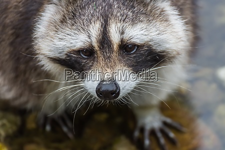 little racoon stands and looks dear