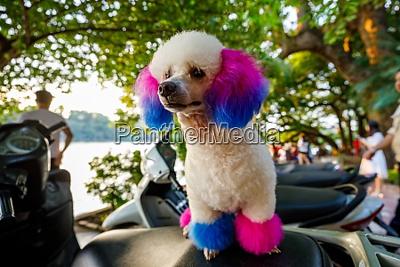 toy poodle with colorful fur