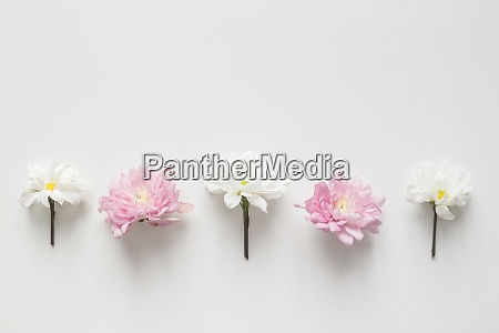 flowers chrysanthemum row on white background