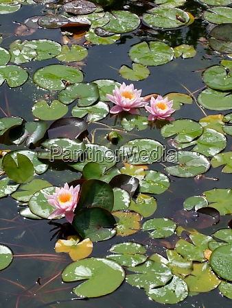 beautiful waterlily on pound in park