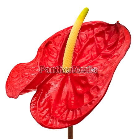 flamingo lily red