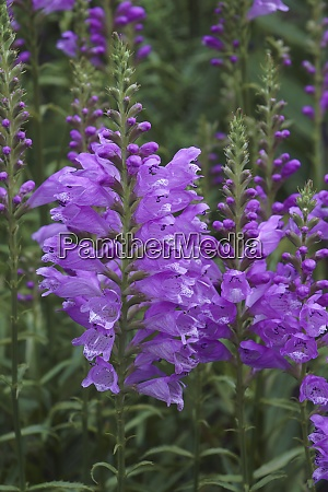 close up image of obedient plant