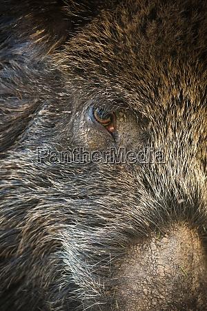detail of wild boar hairy head