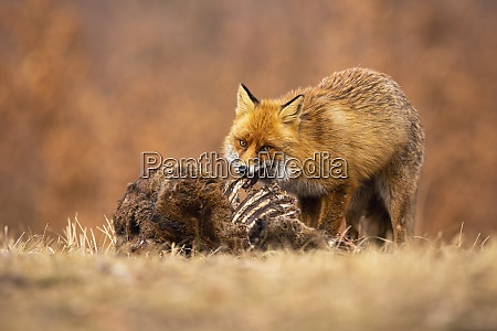 hungry red fox feeding on meadow
