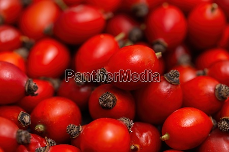 freshly picked pile of rose hips