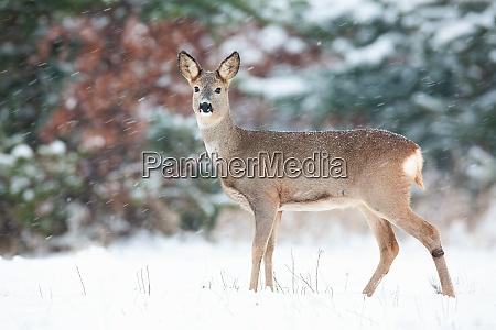 roe deer doe standing on white