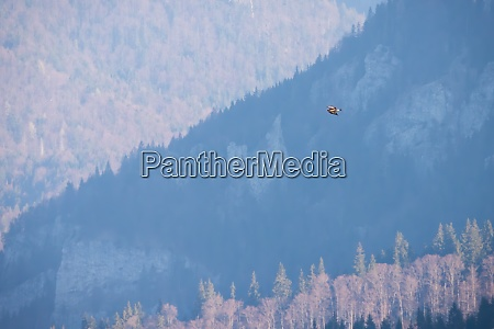 golden eagle flying over the mountains