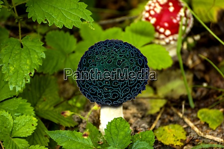 fly agaric mushroom in a forest