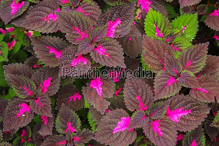 multi colored leaves pink purple and