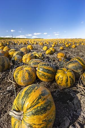 pumpkin near retz in weinviertel lower