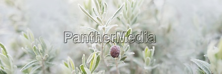 iced olive branches in fog
