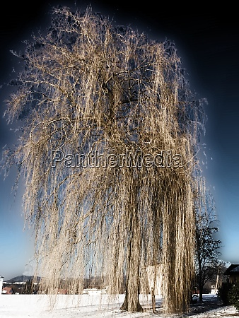 weeping willow in wintertime