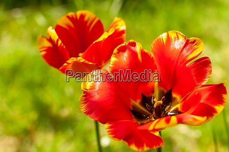 two red yellow tulip flowers on