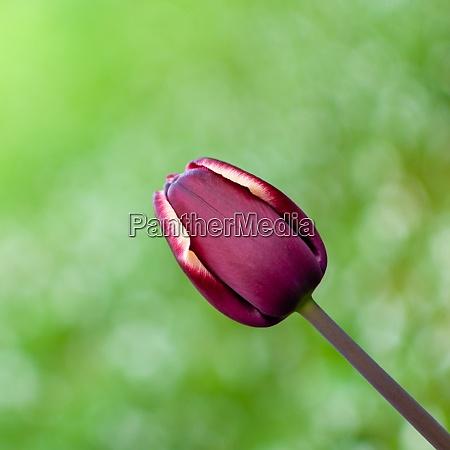 dark purple blooming tulip flower on