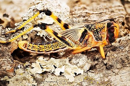 grasshopper macrophotography