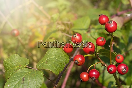 rose hip berries with leaves on