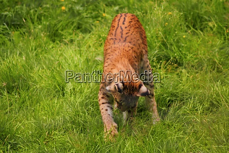 portrait the eurasian lynx northern lynx