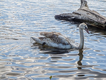 young swan on the driftwood