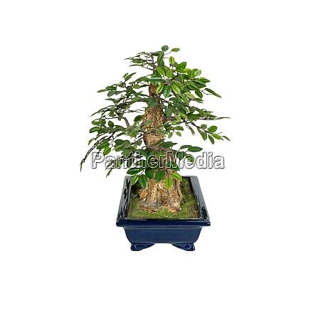 bonsai tree isolated on a white