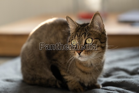 tabby cat sits on the sofa
