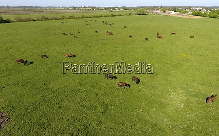 grazing horses on the field shooting