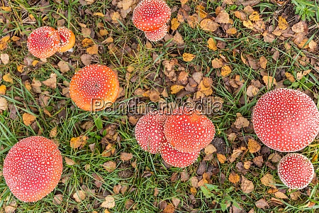 poisonous mushrooms fly agaric