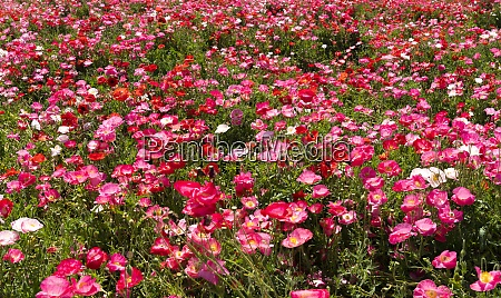 a field of poppies on the