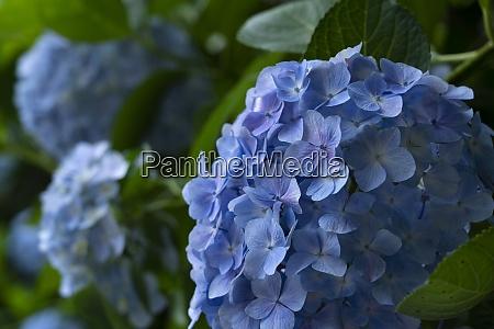 japanese blue hydrangea close up