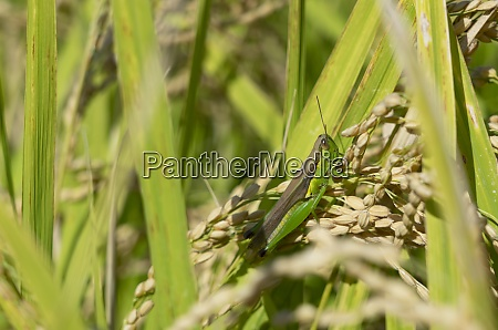 locusts in the rice ears