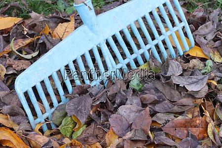 picking fallen leaves with rake