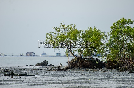 mangrove tree at coastal