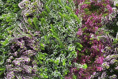 blooming heather flowers background