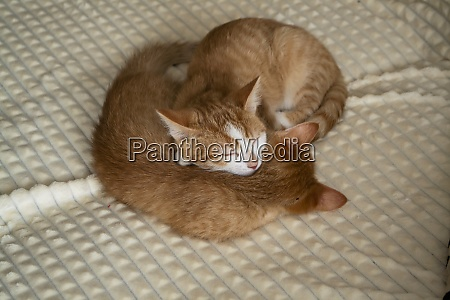 two little red kittens slipping under