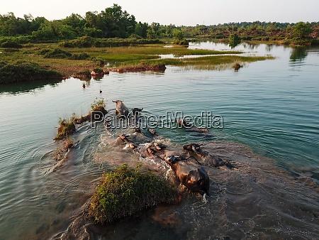 buffaloes swim across the lake