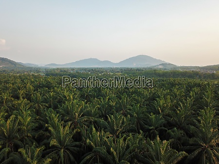 aerial view oil palm leaves