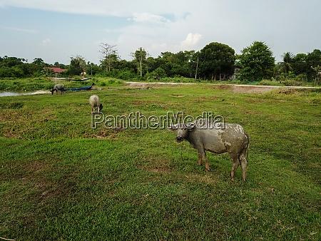 buffalo rest at field