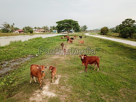 cows in rural field