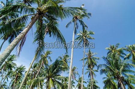 tropical coconut trees at malaysia