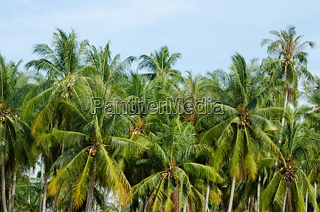 coconut trees plantation