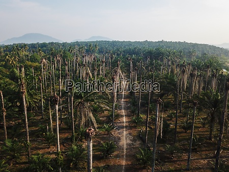 bare palm tree plantation