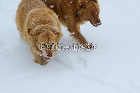 pair of golden retrievers plays in