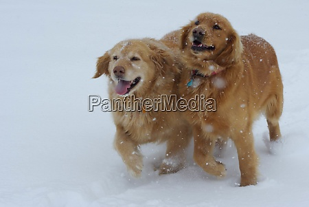 two happy long haired dogs running