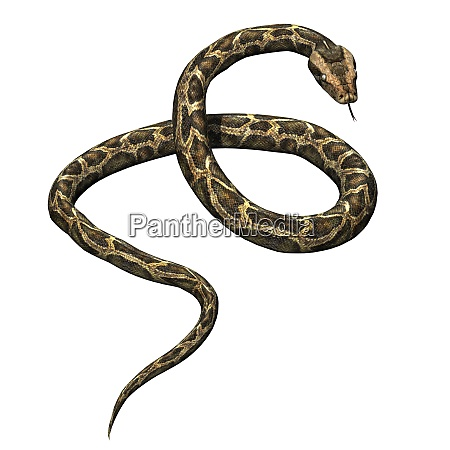 wild animals python isolated