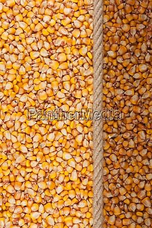 illuminated and dark corn and
