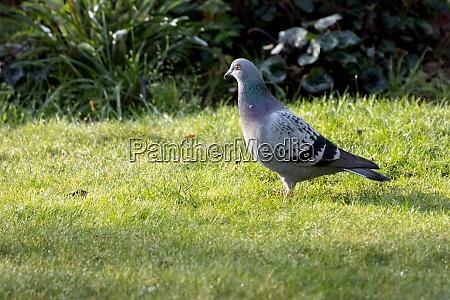 pigeon enjoying the sunshine on an