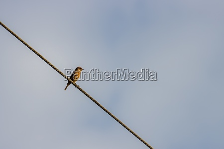 common whitethroat sylvia communis perched on