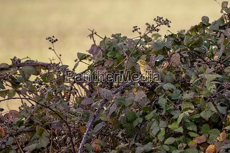 yellowhammer emberiza citrinella in the brambles